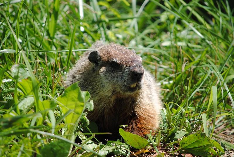 Сурок (Groundhog)