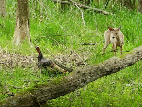 Deer / Turkey Standoff