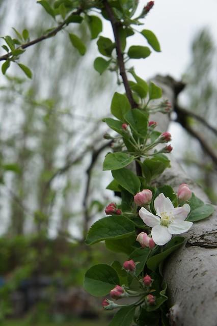 りんごのつぼみ_王林2(2012年5月)