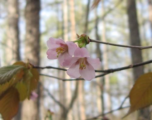 我が家の庭の山桜 2012年5月14日1524 by Poran111