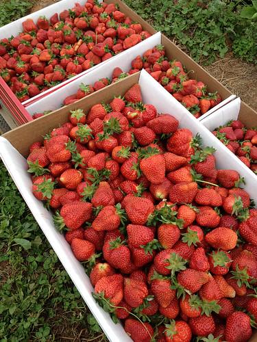 My strawberry haul
