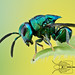 Chalcid wasp - Euperilampus sp. by Colin Hutton Photography