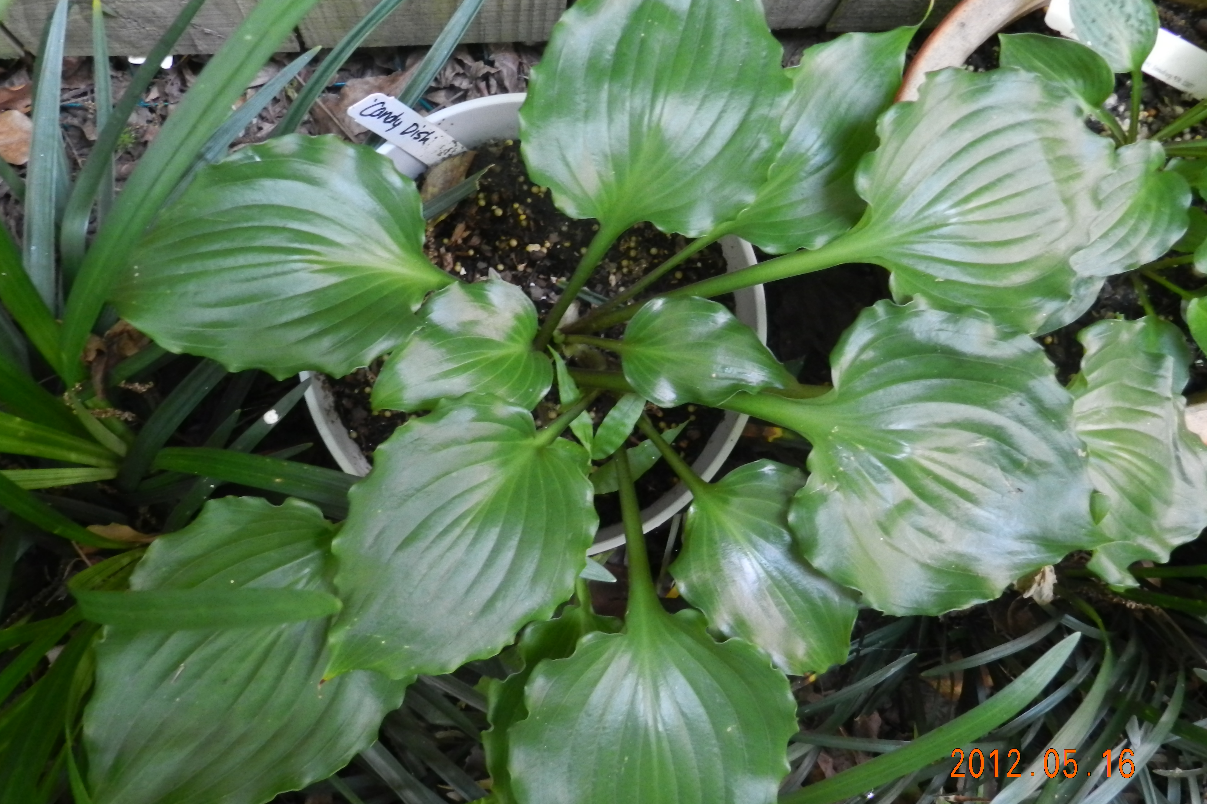 Hosta 'Candy Dish'