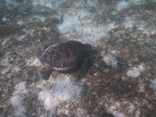Nägin kahte meri kilpkonna by elviina