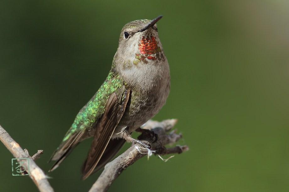 Anna's Hummingbird 051812-3