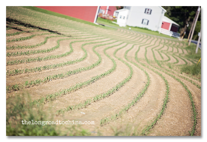 Swirly Rows of Corn BLOG