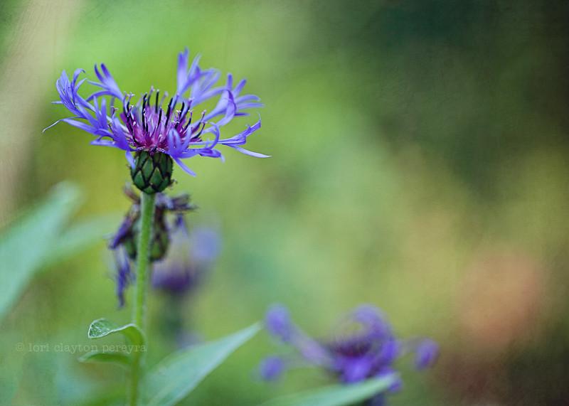 purplegarden-15