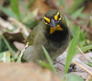 Yellow-faced Grassquit Jamaica March 2009