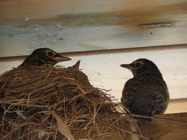 May 28-3 Robin chicks leaving their nest-9