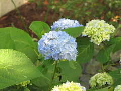 annual plant(1.0), flower(1.0), hydrangea serrata(1.0), plant(1.0), hydrangeaceae(1.0),