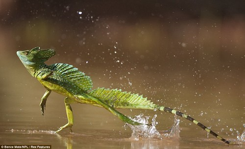 Walking on water! Lizard skips across lake in close-up captured by 'invisible' photographer  1