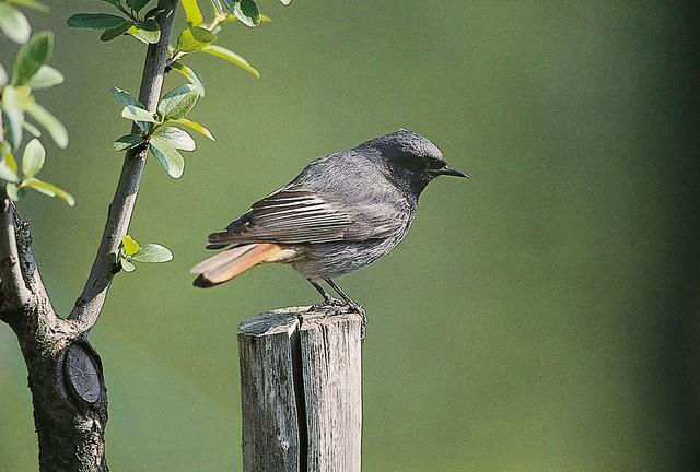 Rouge queue noir observatoire des oiseaux des jardins for Photo oiseau