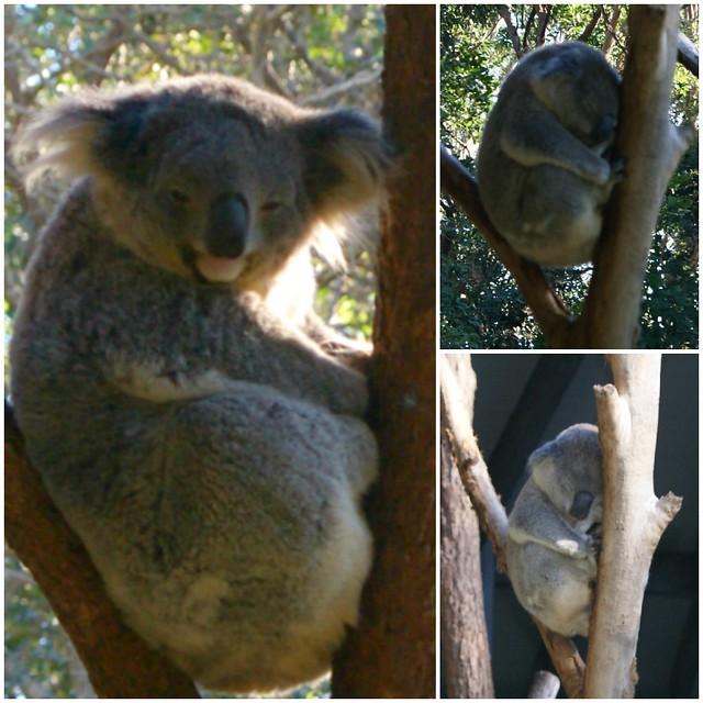 __01 koala