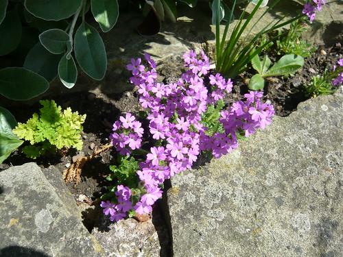 June garden silene