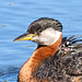 Red-necked Grebe IMG_3472