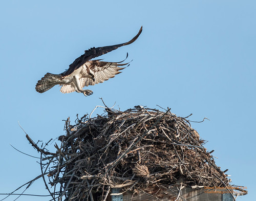 Osprey Landing at the nest by Mark/MPEG (Midwest Photography Enthusiasts Group)