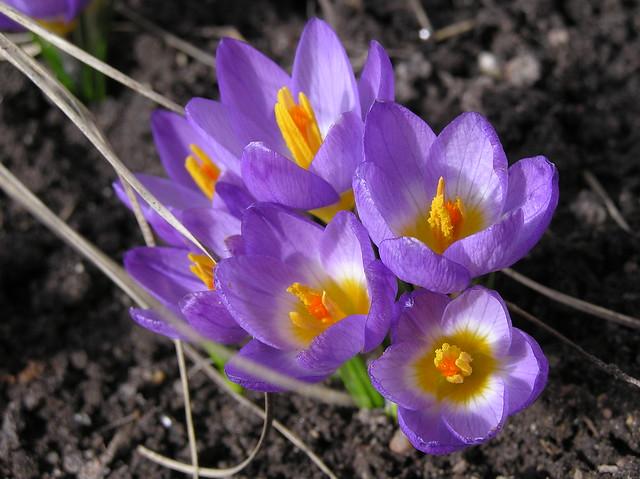 Crocus sieberi 'Tricolor'