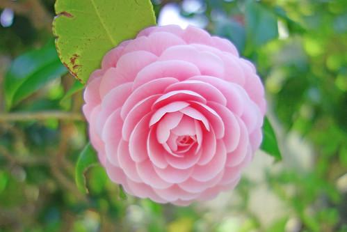 Camellia Japonica / 乙女椿(オトメツバキ)