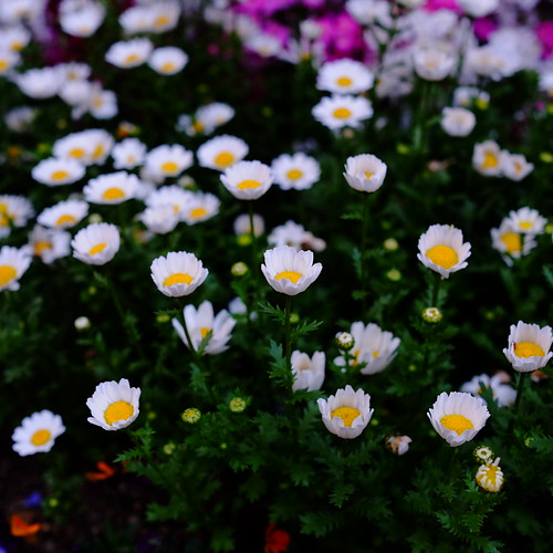 Marguerite spring flowers