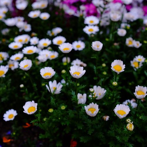 Marguerite spring flowers