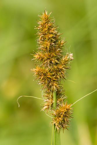 monocots cyperaceae carexstipata awlfruitsedge