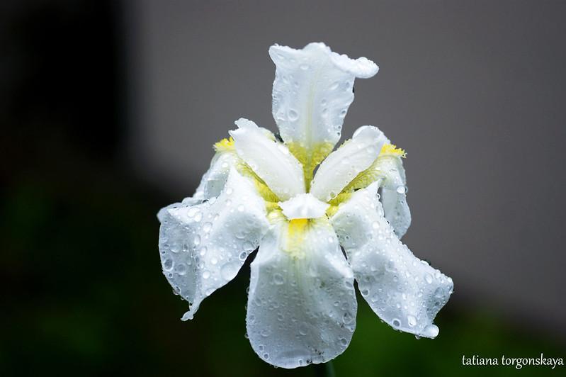 Белый ирис после дождя