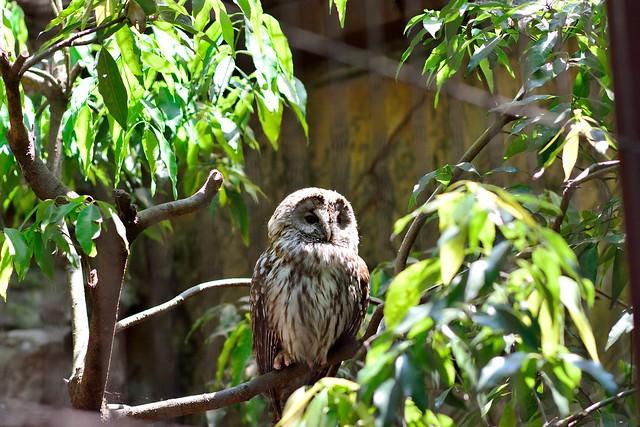 中望遠レンズで撮影した上野動物園のフクロウ