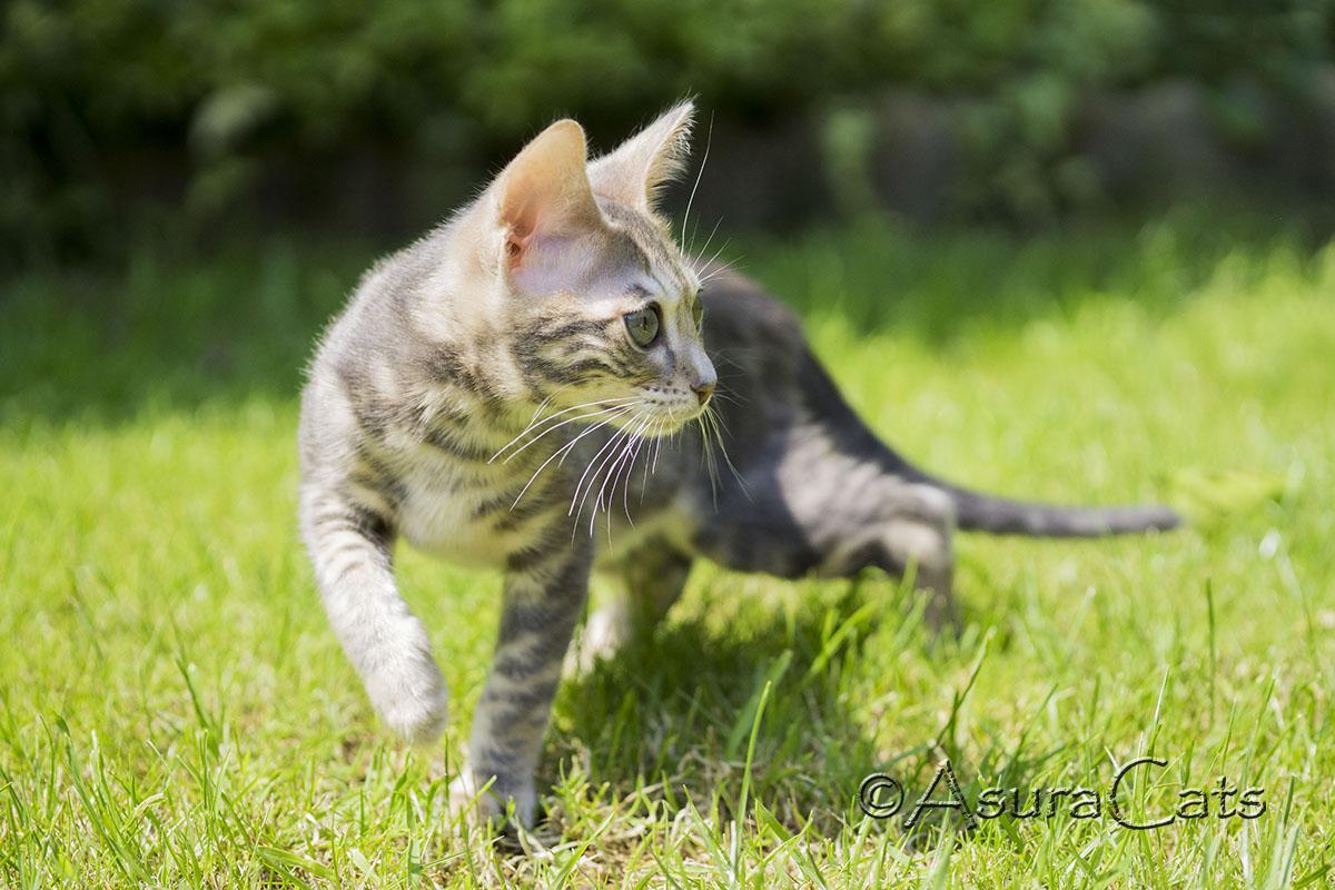 AsuraCats Margaery - Blue marble Bengal kitten