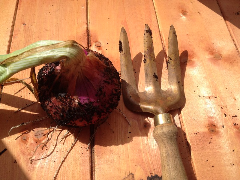Giant onion