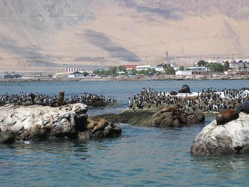 Iquique sea lions