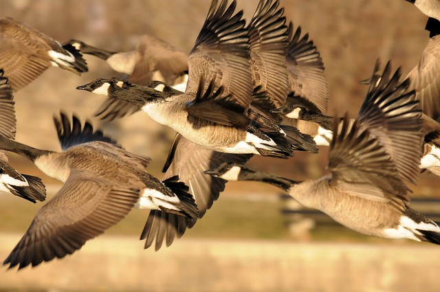 1060 - Wild Geese