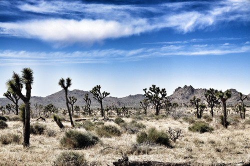 04-05-12 Joshua Tree by roswellsgirl