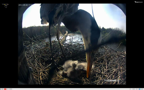 Great Blue Heron feeding chicks