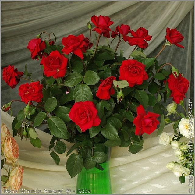 Rosa 'Grande Amore' - Róża