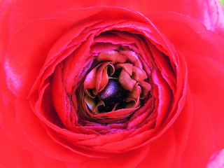 mACRo ... the core of Ranunculus ...
