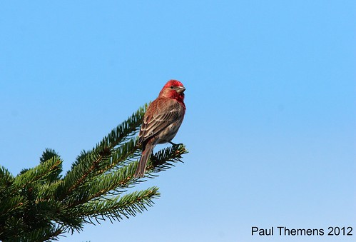HOUSE FINCH / ROSELIN FAMILIER