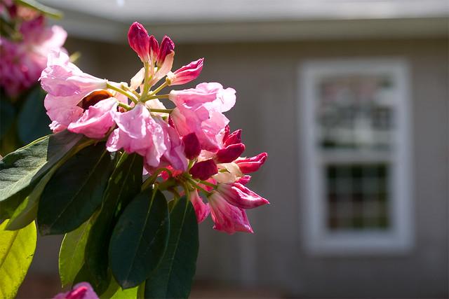rhody_flower