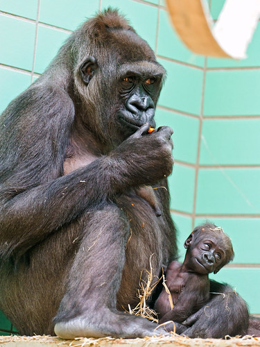 Funny gorilla, Mother and baby