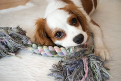 phalã¨ne(0.0), papillon(0.0), dog breed(1.0), animal(1.0), kooikerhondje(1.0), puppy(1.0), dog(1.0), pet(1.0), mammal(1.0), king charles spaniel(1.0), spaniel(1.0), close-up(1.0), cavalier king charles spaniel(1.0),
