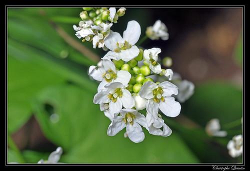 Raifort (Armoracia rusticana)