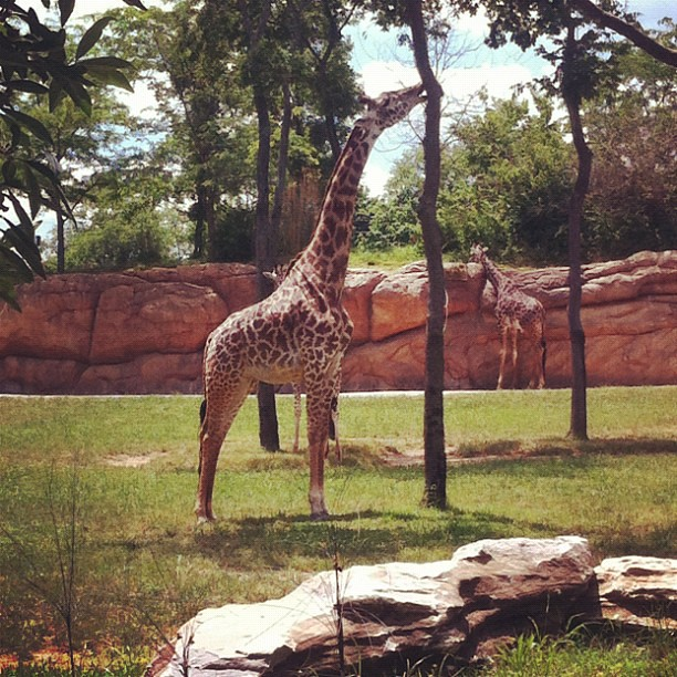 Giraffes are so cool.