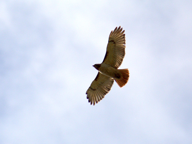 Red-tailed Hawk 20120509