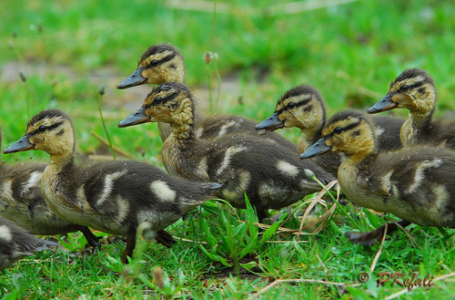 Little Ducklings...