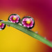 Dewdrop/raindrop flower refractions #7