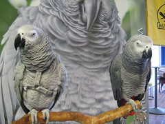 parakeet(0.0), wildlife(0.0), animal(1.0), macaw(1.0), parrot(1.0), pet(1.0), fauna(1.0), beak(1.0), african grey(1.0), bird(1.0),