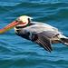 Pelican 322