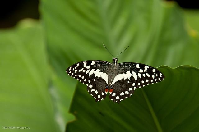 Papilio Demoleus. Una de las mariposas que se encuentran en el mariposario.