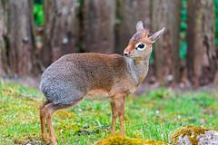 [フリー画像素材] 動物 1, 哺乳類, ディクディク ID:201205201000