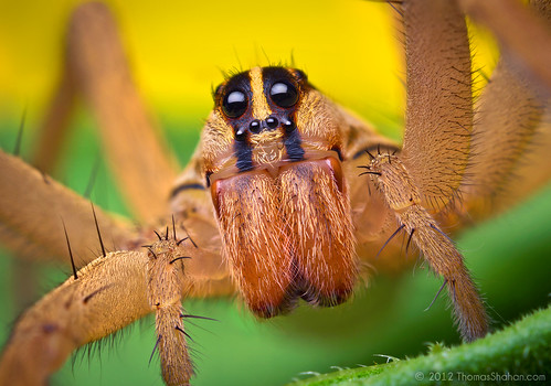 Female Rabid Wolf Spider - Rabidosa rabida by Thomas Shahan