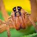 Female Rabid Wolf Spider - Rabidosa rabida by Thomas Shahan
